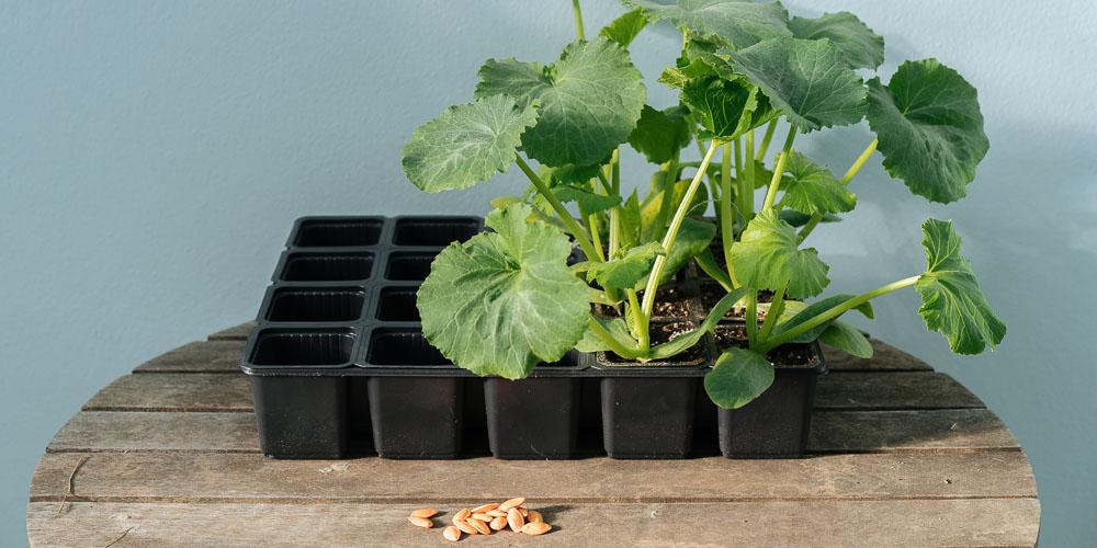 Φυτεύουμε λαχανικά από σπόρο ή προμηθευόμαστε έτοιμα φυτά;