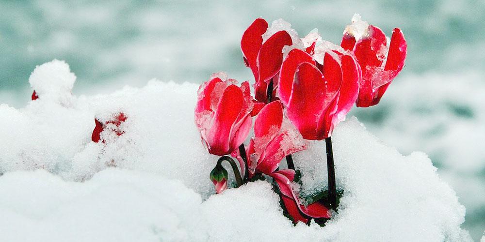 Πώς προστατεύουμε τα φυτά από κρύο, χιόνι, παγετό?